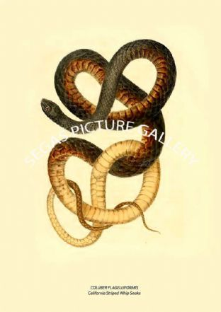 COLUBER FLAGELLIFORMIS - California Striped Whip Snake